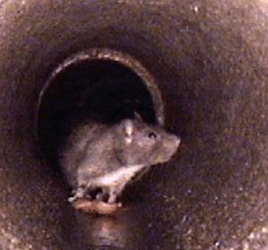 rat pipe
