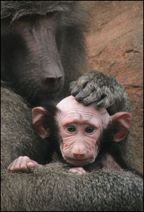 over-groomed baboon baby