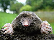 an angry mole, actually a failing automated test, annoyed to have been plucked from his burrow to arrive in my subconscious mind when he least expected it