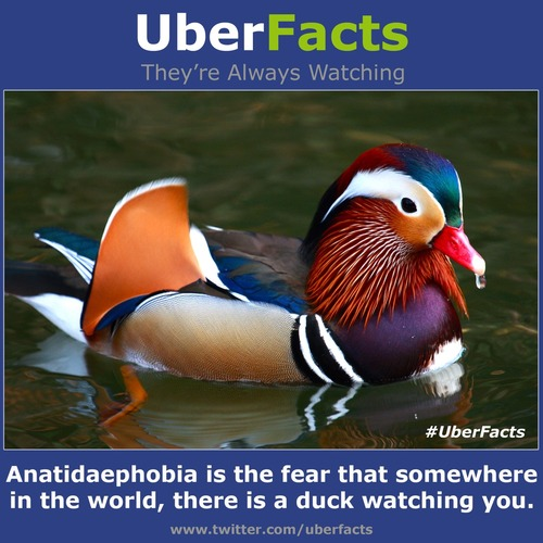 Anatidaephobia is the fear that somewhere in the world, there is a duck watching you.